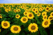 Kaminokawa Sunflower Festival